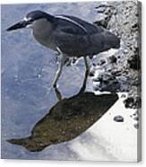 Black Crowned Night Heron And Shadow Canvas Print