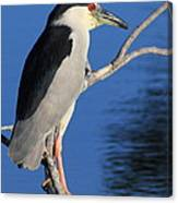 Black Crowned Night Heron Canvas Print