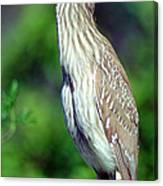 Black-crowned Night Heron Juvenile Canvas Print