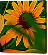 Black Eye Susans Canvas Print