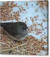 Black Eyed Junco Canvas Print
