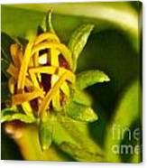 Black Eyed Susan Bud Canvas Print