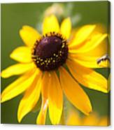 Black-eyed Susan With Friend Canvas Print
