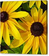 Black-eyed Susans Close Up Canvas Print