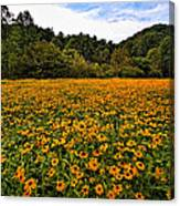 Black-eyed Susans Canvas Print