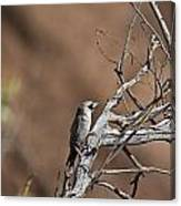Black-faced Cuckoo Shrike Canvas Print