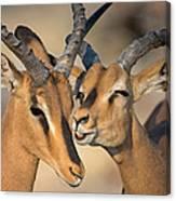 Black-faced Impalas Aepyceros Melampus Canvas Print