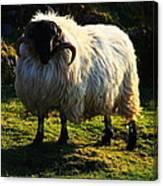 Black Faced Mountain Sheep Canvas Print