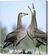 Black-footed Albatross Courtship Dance Canvas Print