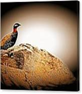 Black Francolin Canvas Print