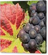 Black Grapes Canvas Print