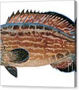 Black Grouper Canvas Print