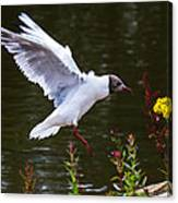 Black Head Gull - Preparing For Landing Canvas Print