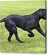 Black Labrador Playing Canvas Print