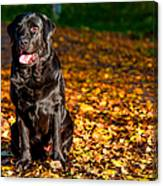Black Labrador Retriever In Autumn Forest Canvas Print