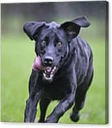 Black Labrador Running Canvas Print