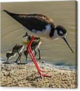 Black Neck Stilt And Babies Canvas Print