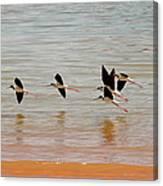 Black-necked Stilt - Lake Powell Canvas Print