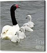 Black Necked Swan Patagonia  Canvas Print
