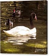 Black-necked Swan Canvas Print