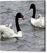 Black Necked Swans Patagonia 1 Canvas Print