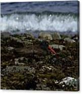 Black Oystercatcher Canvas Print