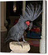 Black Palm Cockatoo Canvas Print