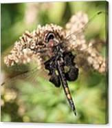 Black Saddlebags Dragonfly At Rest Canvas Print