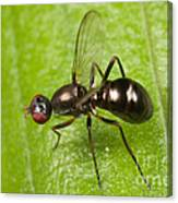 Black Scavenger Fly Canvas Print
