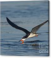 Black Skimmer Rynchops Niger Skimming Canvas Print