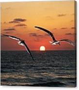 Black Skimmers At Sunset Canvas Print