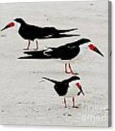 Black Skimmers  Canvas Print