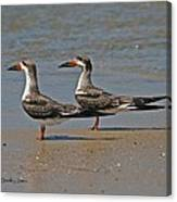 Black Skimmers On The Beach Canvas Print