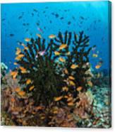 Black Sun Coral And Sea Goldies Fiji Canvas Print
