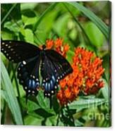 Black Swallow Tail On Beautiful Orange Wildlflower Canvas Print