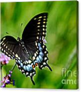 Black Swallowtail Butterfly In Garden Canvas Print