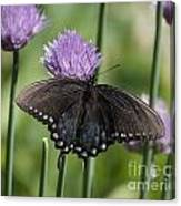 Black Swallowtail On Chives Canvas Print