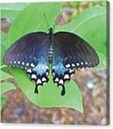 Black Swallowtail On Tulip Poplar Canvas Print