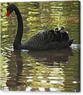 Black Swan Series II Canvas Print