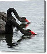 Black Swans Australia Canvas Print