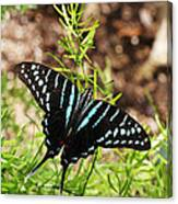 Black Swordtail Butterfly Canvas Print