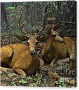 Black Tail Deer Canvas Print