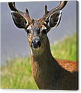 Black Tailed Deer Canvas Print
