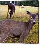 Black-tailed Deer Canvas Print