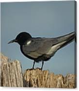 Black Tern Canvas Print