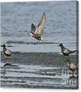 Black Terns Canvas Print