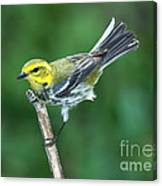 Black-throated Green Warbler, Female Canvas Print