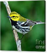 Black-throated Green Warbler, Male Canvas Print
