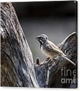 Black Throated Sparrow Canvas Print