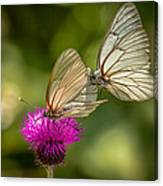 Black-veined White Canvas Print